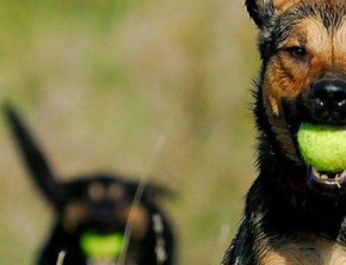 Protegido: Practicar la llamada con tu perro