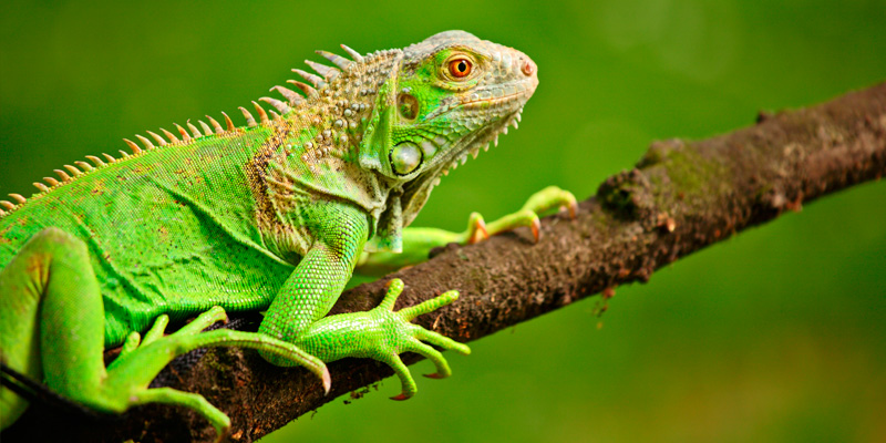 iguana-cuidados-manejo