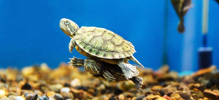 tortuga de agua cuidados